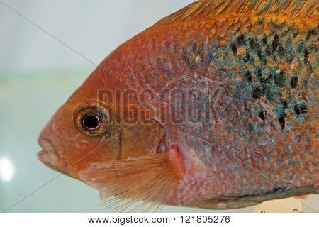 Redhead cichlid (Vieja synspila) freshwater aquarium fish