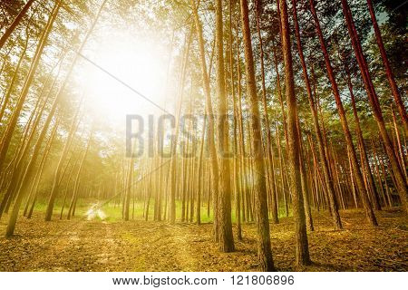 pine forest trees. nature green wood sunlight backgrounds