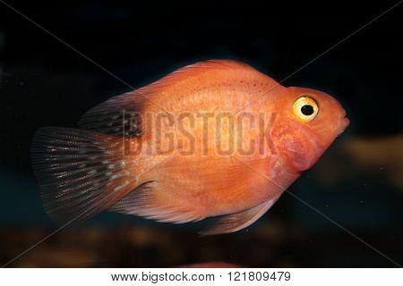 Blood parrot cichlid freshwater aquarium fish. Red fish