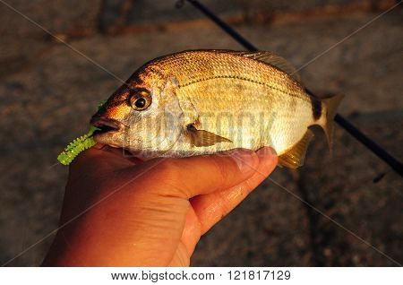 Spinning fishing in fresh water. Diplodus fish & lure
