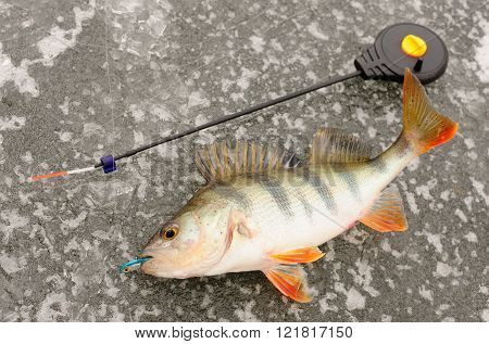 Winter perch fishinh
