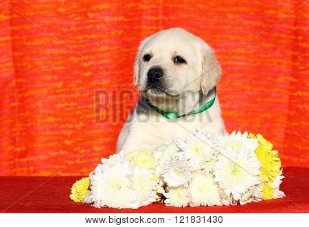 A Cute Nice Labrador Puppy On An Orange Background