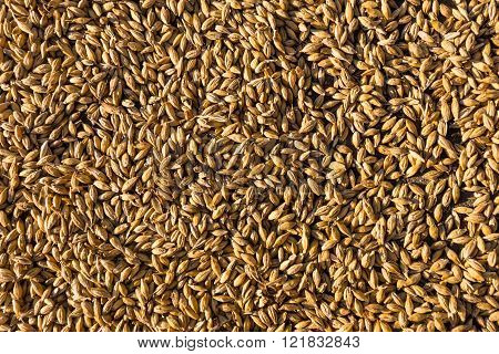 Wheat crop background top view close up