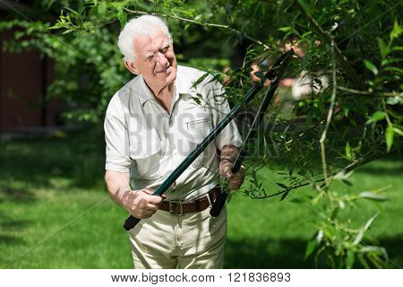 Senior gardener is working with scissors and trimming trees