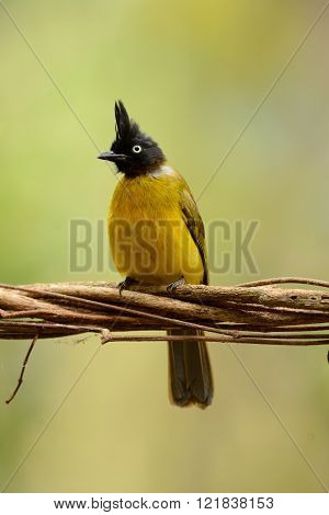 beautiful black-crested bulbul bird in Thai forest