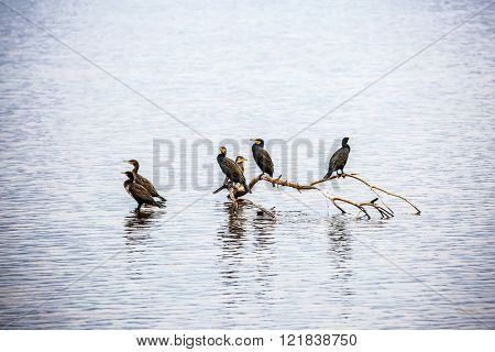 Winter dawn in Upper Galilee, Israel. Migratory cormorants wintering on Lake Hula