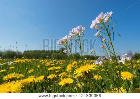 Blooming pink cuckoo-flower and yellow dandelions in landscape