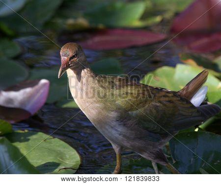 Young purple gallinule bird in florida everglades