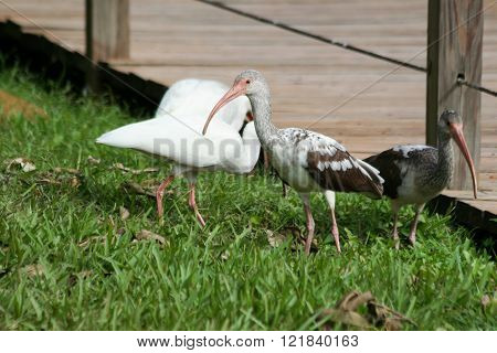 Yound white ibis in captivity in florida everglades park