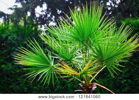 Lush green foliage of palm on green leaves background.