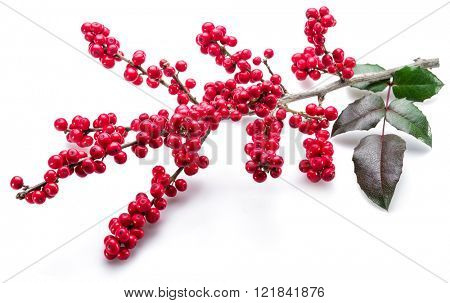 European Holly (Ilex) leaves and fruit on a white background.