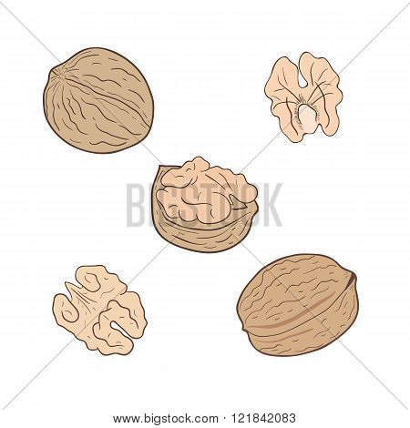 Walnuts. Set of vector walnuts, shelled and whole.