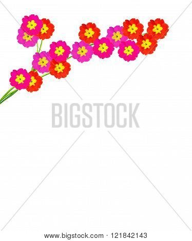 Spring Flowers Primula Isolated On White Background.