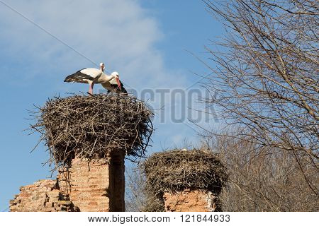 storks nesting in the ruins of the Islamic complex of the Chellah in Rabat, Morocco