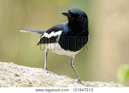 beautiful male oriental magpie-robin (Copsychus saularis) standing on dead tree