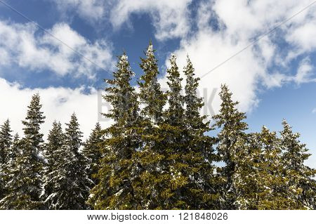 Snow Covered Pine Trees In A Sunny Day