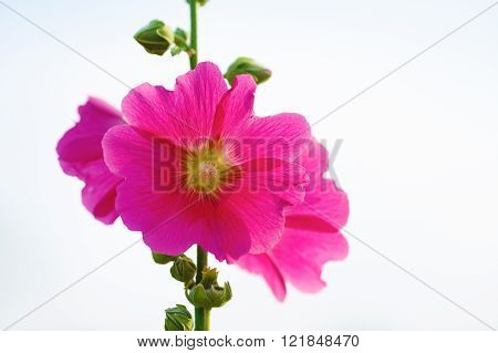 Pink hollyhock flowers in garden. Mallow flowers. Shallow depth of field. Selective focus.