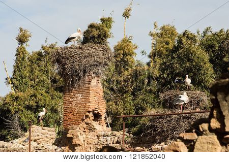 storks nesting in the ruins of the Islamic complex of the ancient Chellah in Rabat, Morocco