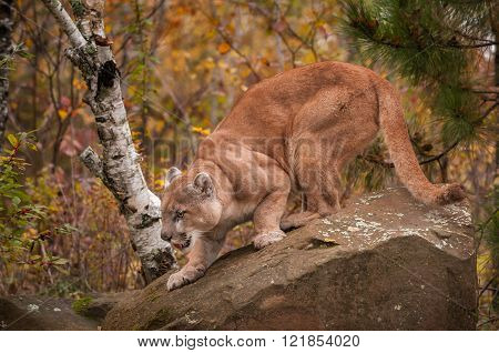 Adult Male Cougar (puma Concolor) Crouches On Rock