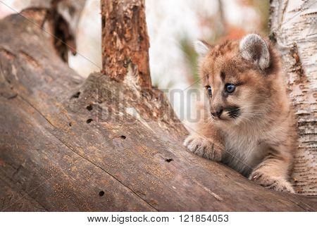 Female Cougar Kitten (puma Concolor) Copy Space Left