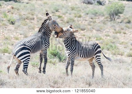 Two mountain zebra stallions fighting in the Mountain Zebra National Park near Cradock in South Africa