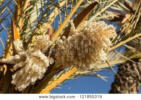 date palms in bloom in Marrakech, Morocco ** Note: Soft Focus at 100%, best at smaller sizes