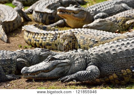 Group of crocodiles in the crocodile farm of Hamat Gader in Israel.