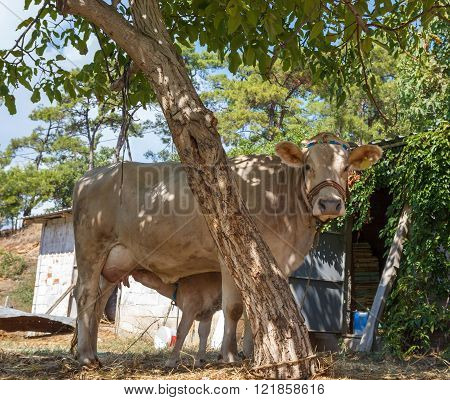 Light Beige Cow With Calf