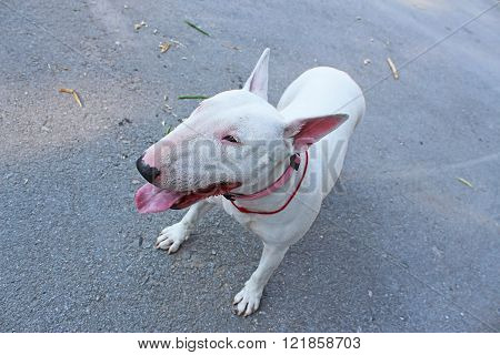 White English Bull Terrier