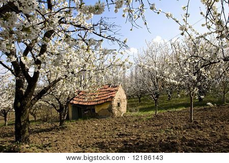 traditional Serbian mud farmhouse in orchard
