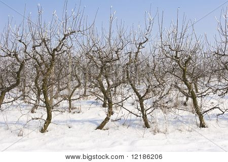 view of an apple orchard covered in snow