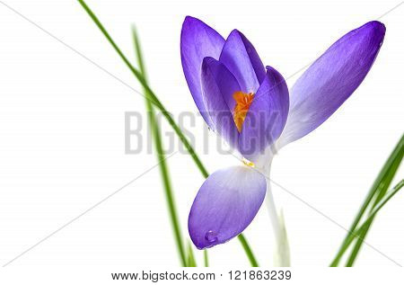 delicate crocus blossom with blue petals and orange stamens isolated against a white background, closeup shot