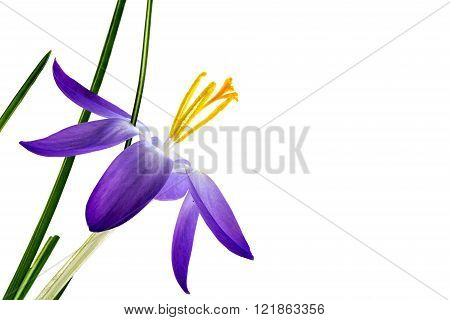 delicate crocus blossom with blue petals and yellow stamens isolated against a white background closeup shot