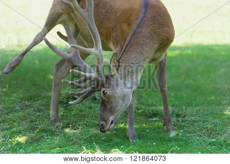 Itching mature male red deer or stag with huge branched antlers