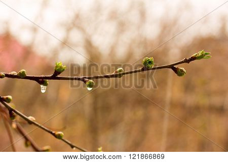 buds of the leaves