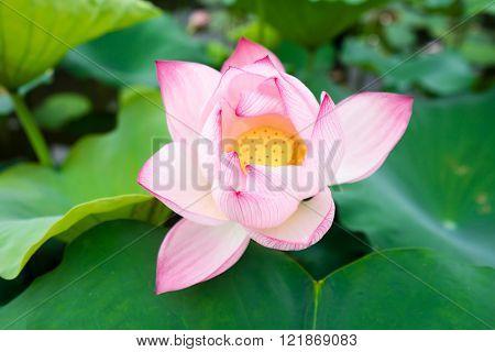 Flowers of Asia. Macro. Lotus East. Blossomed lotuses. Symbol Of India, VietNam, China