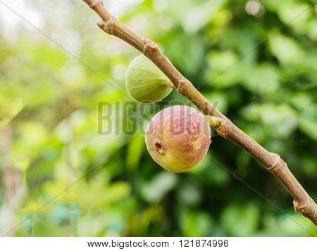 figs fruits on tree branch in garden