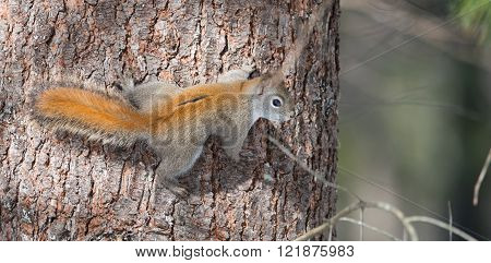 Fiery orange Springtime Red squirrel, full length on a tree.  Quick little woodland creature running up and down trees in a woods.