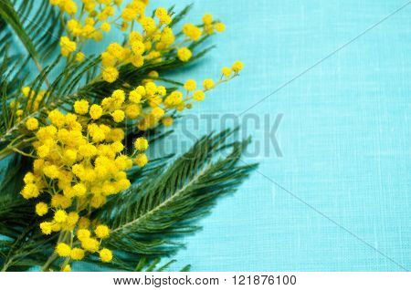 Bright yellow fluffy mimosa on the turquoise linen surface. Soft focus processing. Natural spring background with copy space. Selective focus at the mimosa.
