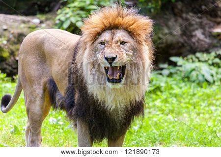 standing lion roars in an animal park