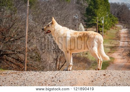 White German Shepard standing on a hill.