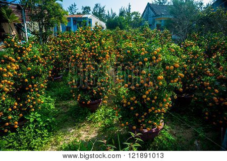 Tangeries in pots