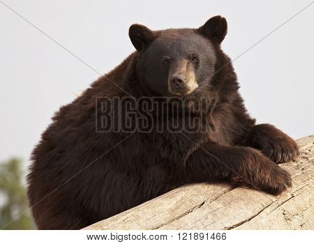 American Black Bear, brown phase, leaning on a fallen log