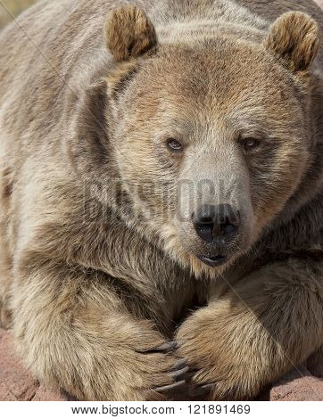 Close up, head and shoulders image of a grizzly bear
