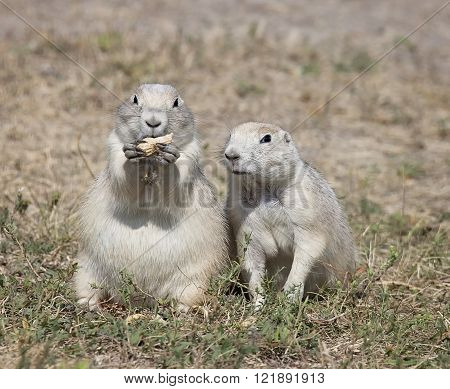 Black-Tailed Prairie Dog pair enjoy feasting on a peanut.