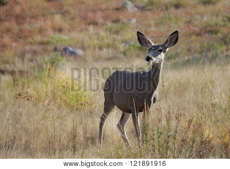 Mule deer doe stands in an open meadow.  Summer in Custer State Park, South Dakota.