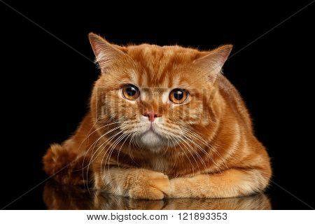 Closeup Red British cat Lying with cute paws isolated on Black Background