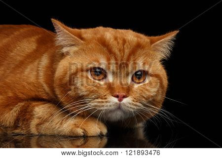 Closeup head of grumpy Red British Cat with paws isolated on Black Background