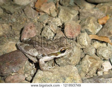 Baja California Tree Frog - Pseudacris hypochondriaca