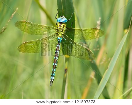 Green Hawker Dragonfly Resting On A Leaf